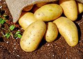 Potatoes Spotlight